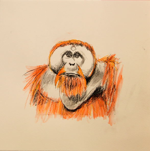 Orangutan drawing #3 ink, watercolour pencil and charcoal on paper, 25 5 x 25 5cm