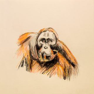 Orangutan drawing #4 ink, watercolour pencil and charcoal on paper, 25 5 x 25 5cm