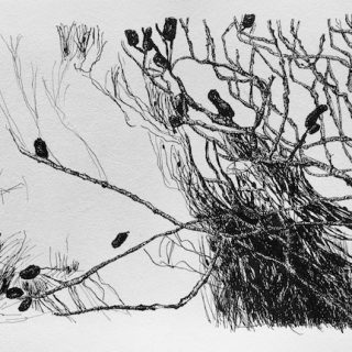 Banksia Near Home, ink on paper, 23 x 34cm